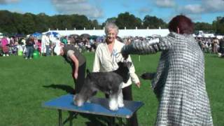 Richmond Champ Show Mini Schnauzer - Dogs