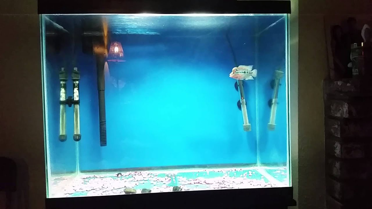 Flowerhorn Care Part 1 - YouTube