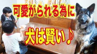 秋田犬の惣右介は、お手もお座りも何も出来ないけど 可愛いと人気者です...