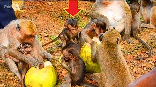 Oh! What's Amazing Time Lori and All Tiny Baby Monkeys Meeting, Eating Coconuts, So Beautiful Baby