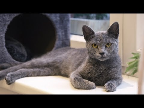 How to Care for a Russian Blue - Feeding and Looking After a Russian Blue
