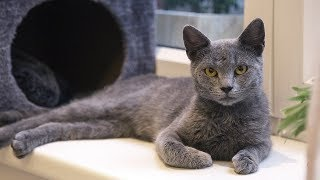 How to Care for a Russian Blue  Feeding and Looking After a Russian Blue