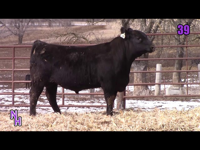 New Haven Angus Lot 39