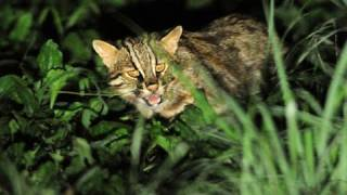 絶滅危惧種・ツシマヤマネコを守れ ツシマヤマネコ 検索動画 12