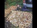 Собрал мешок белых грибов.