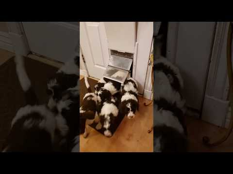 FUNNY dogs / Puppies SQUEEZING Through Doggy Door
