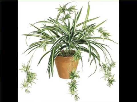 hanging spider plant indoor house or office plants picture collection youtube