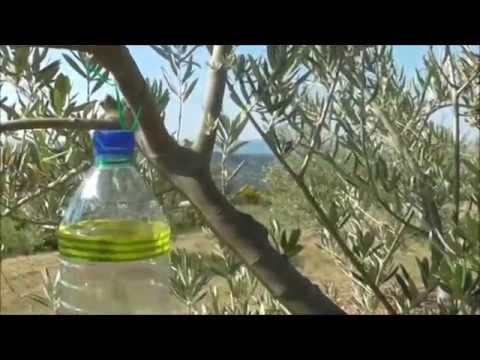 Pi ge mouche de l 39 olive pu apka na dacus olea youtube - Insecticide mouche de l olive ...