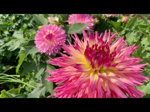 Многолетние Георгины: как выращивать георгины в холодном климате.
