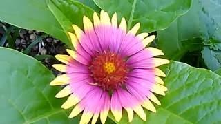 Flor de Paintbrush native american flower HD 1