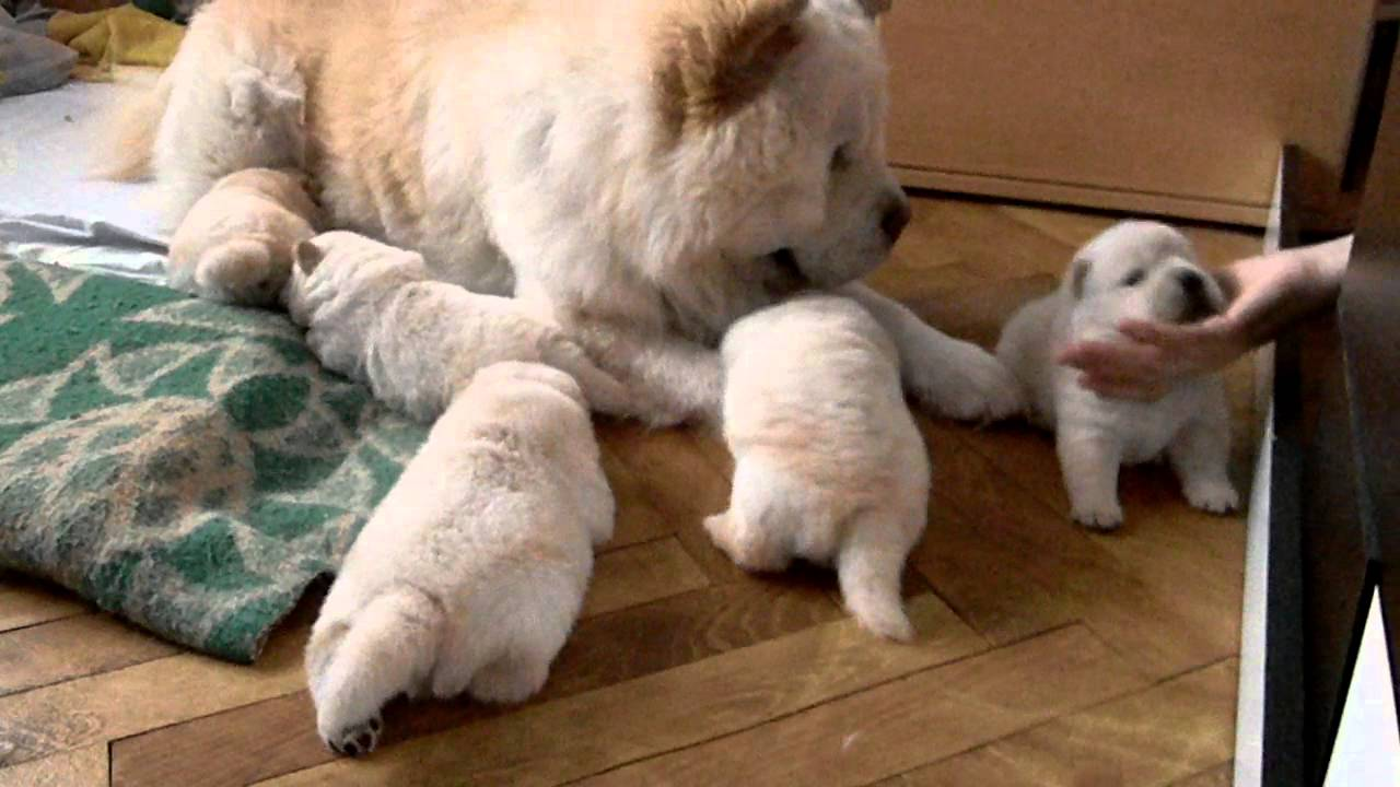 the most beautiful baby chow chow - YouTube