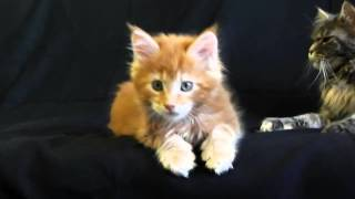 Котята мейн-кун крупные симпампулечки помета С -  8 недель/питомник ЛИРИКУМ