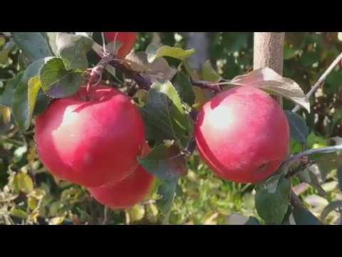 Яблоки сорт Сирена, переработка на сок.