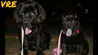 Top10 Mixes of the Largest Dog Breds #16 (Chovchov, Newfoundland, German Shepherd, St. Bernard...)