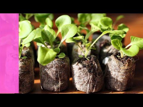 Как посадить петунью? Посев петунии  в торфяные таблетки.