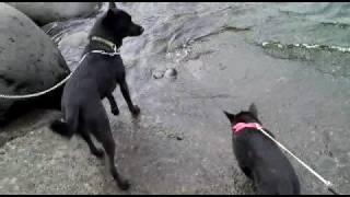 甲斐犬はるかと甲斐犬ももかとで、伊豆に行ってきました。はじめての海...