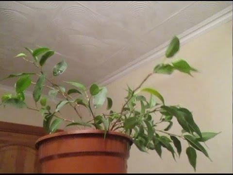 """""""Фикус Бенджамина Наташа-1. Внучка Мистера Бэна? Карликовый сорт с зелёными листьями! И о Кинки(("""""""