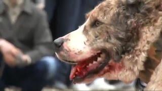 Собачьи бои в России и Центральной Азии