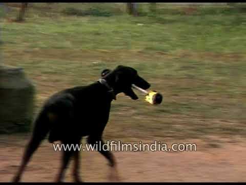 Dog jumps hurdles with flaming baton: Dog training in India