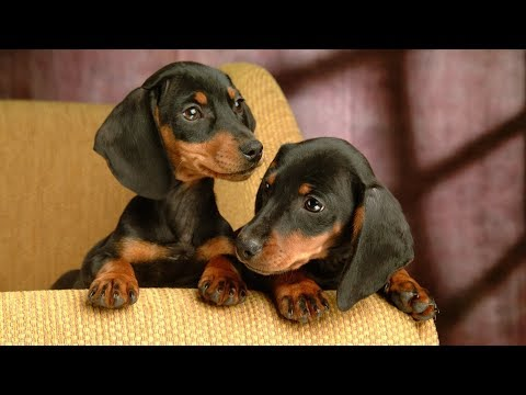Dachshund 2018 Dogs Review & Photos | Cute Pets Review