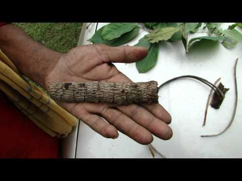 Pankaj Oudhia's Healing Herbs: Diabetes mellitus Type 2 with Proctitis. HF-510