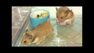 أقوى مقطع تزاوج للهامستر Stronger clip Mating for hamsters