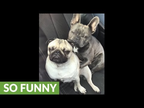 Cute dogs caught snuggling each other in car