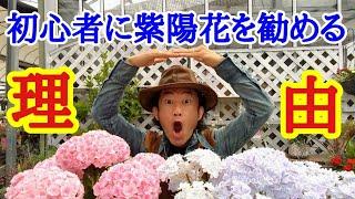 【初心者必見】初心者が簡単に長くお花が楽しめるアジサイを特集します          【カーメン君】【園芸】【ガーデニング】