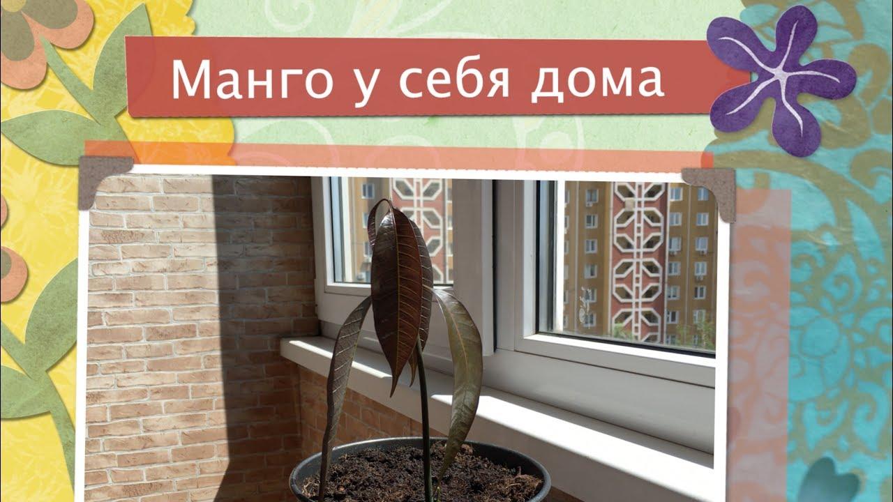 Как посадить манго Как вырастить манго из косточки