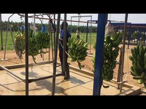 Ghana, banana plantation - Africa ExPress