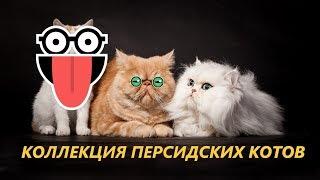 Самый боевой КОТ/Персидские кошки/Забавные Кошечки и Котики в тропическом парке Нонг-Нунч