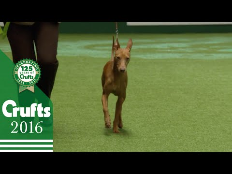 Whippet wins Hound Group Judging | Crufts 2016