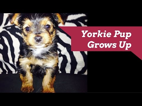 Adorable Yorkie Puppy Grows Up - 7 weeks to 1 1/2 Years Old