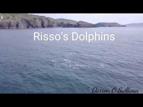 Risso's Dolphins in Bantry Bay