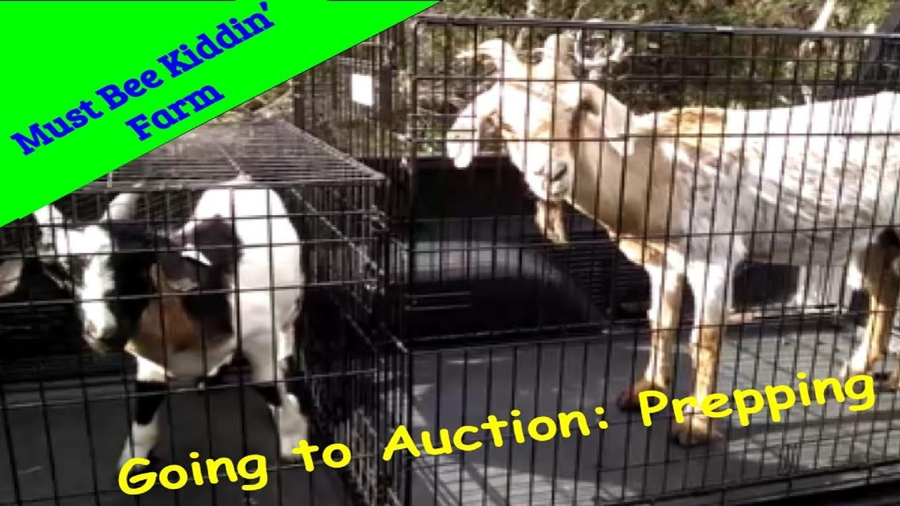 Goat Farming USA Prepping Goats For Sale Barn Auction PART 2