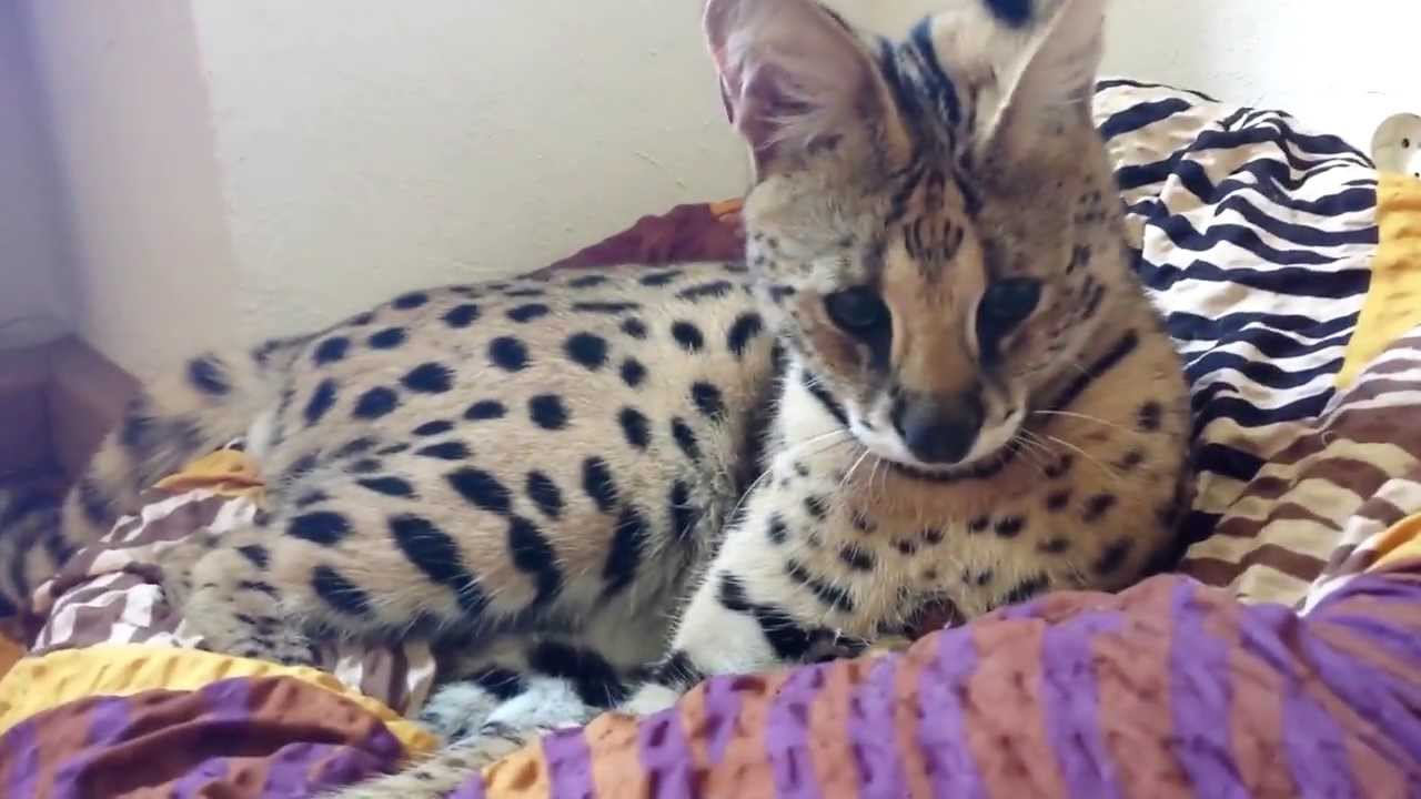 savannah cat tv african serval playing with dog youtube