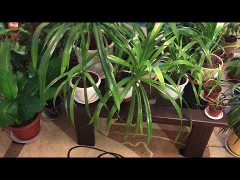 Домашние растения. Панданус Баптиста.