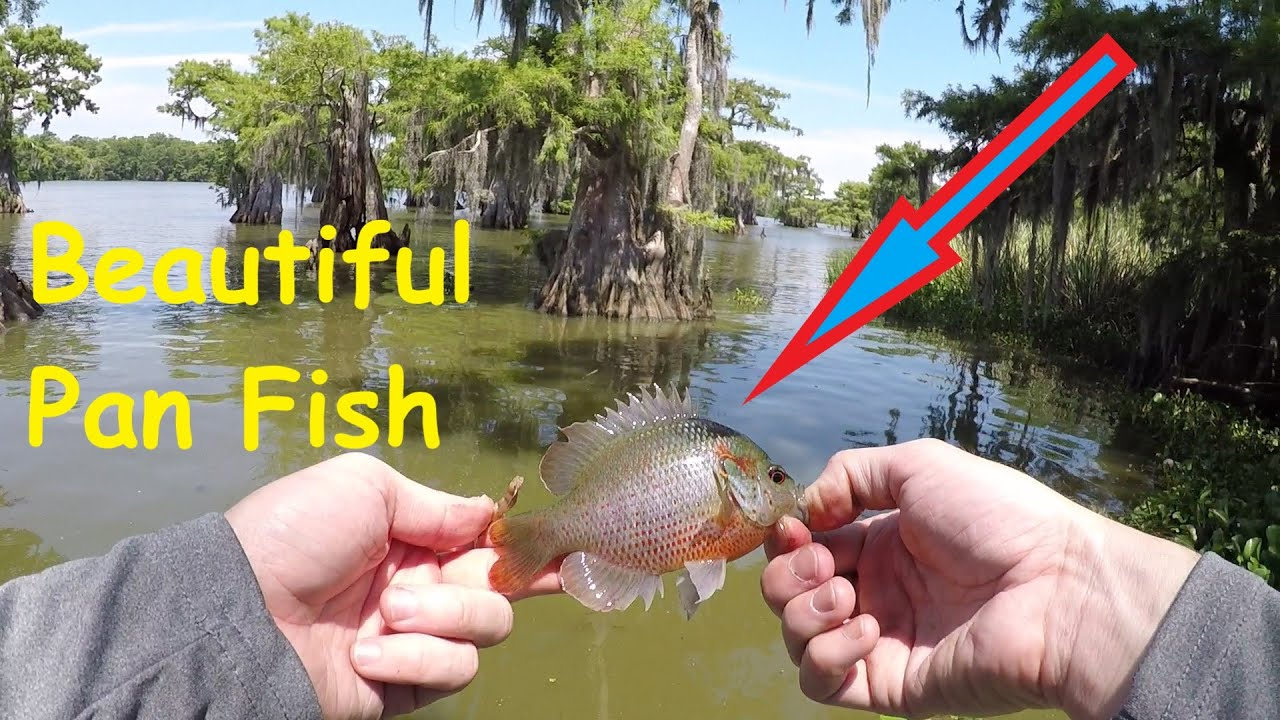 Pan Fishing for Spawning Blue Gill on Cypress Trees