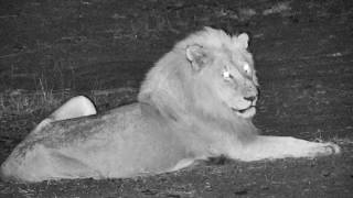 Djuma: Avoca male Lion roars then lays down in the road-Pt:2  - 04:03 - 10/18/18 thumbnail
