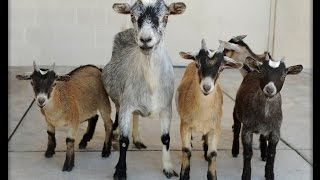 keeping chickens, nigerian dwarf goats for sale, what to feed goats, dwarf nigerian goats