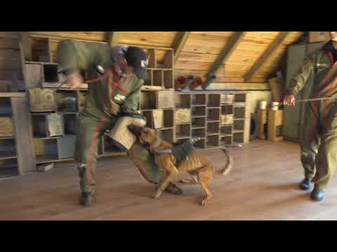 Franz Belgian Malinois Protection Inside And Outside