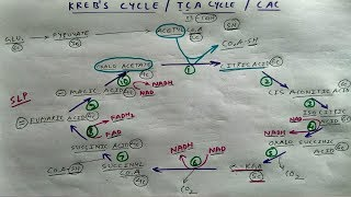 Krebs cycle ( how to draw it )