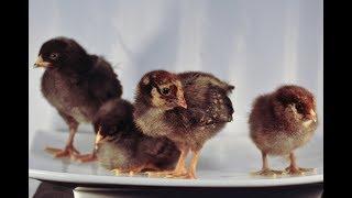 chicken surveillance thumbnail