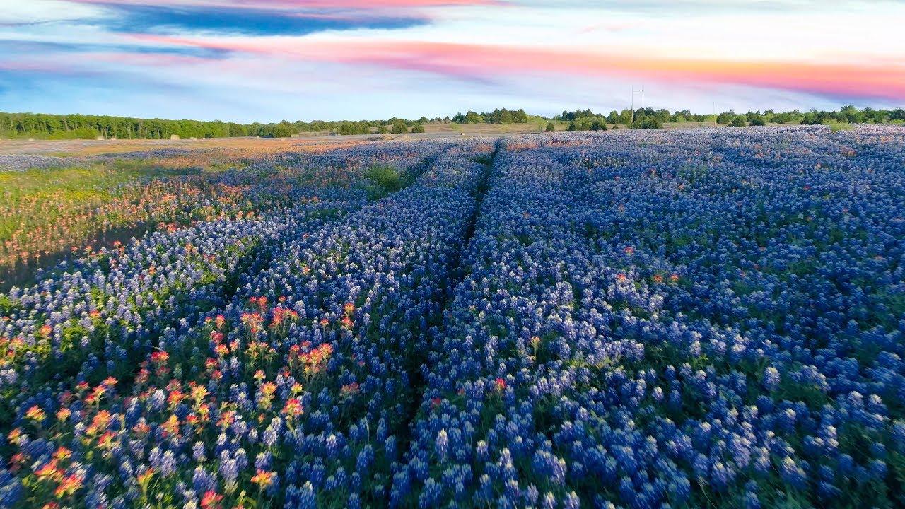 Texas State Flower 4k Bluebonnet Trails Ennis Tx 2017 Drone