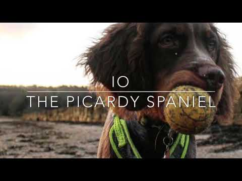 Io: The Picardy Spaniel
