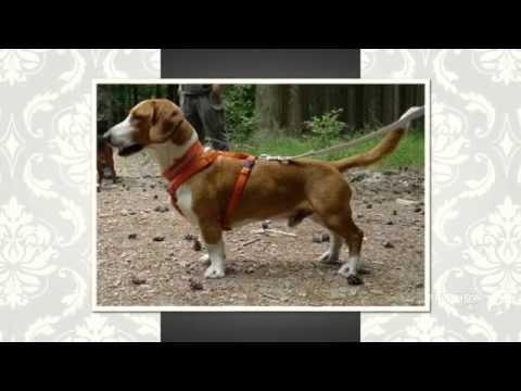 Westphalian Dachsbracke Dog breed