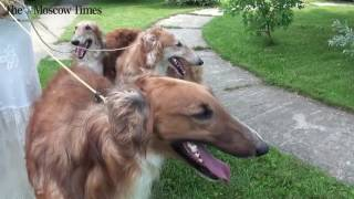 Do You want a Borzoi dog ?