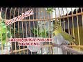Pleci Buxtoni Gacor Buka Paruh Nembak Bongkar Isian Kicau Pidong  Mp3 - Mp4 Download
