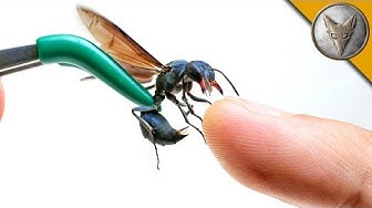 STUNG by a WARRIOR WASP!