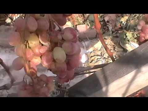 Сорт винограда кишмиш Красный   Крайнова, сезон 2015